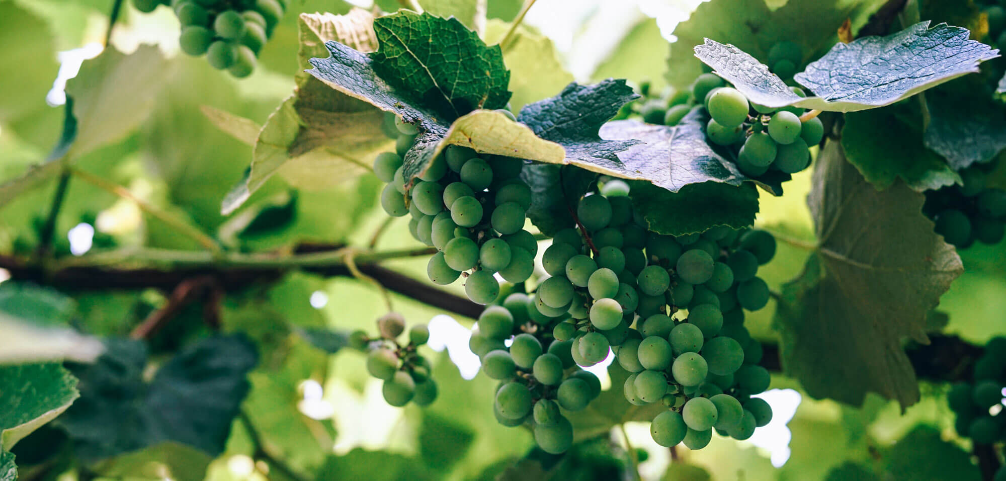 Historic Canadian Vineyard Innovates with IoT